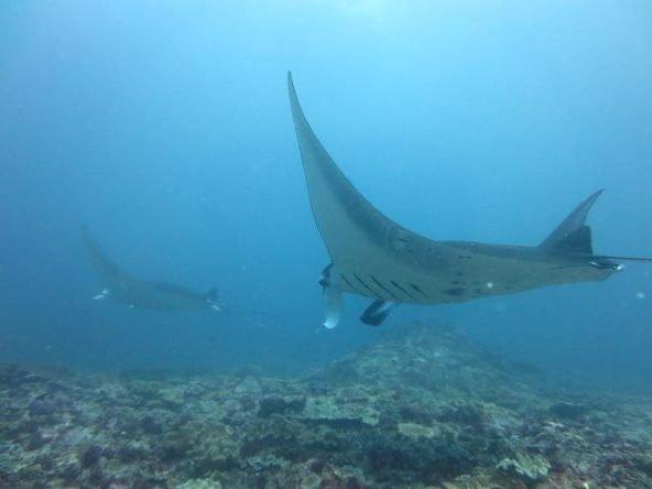 Manta Rays Bali