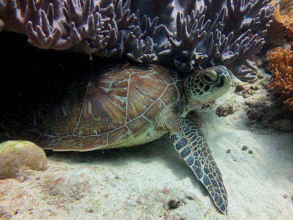 Turtle under coral