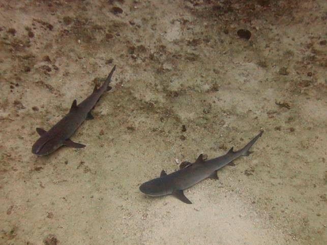 candi sharks