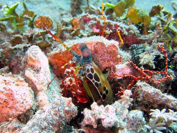 mantis Shrimp in hole